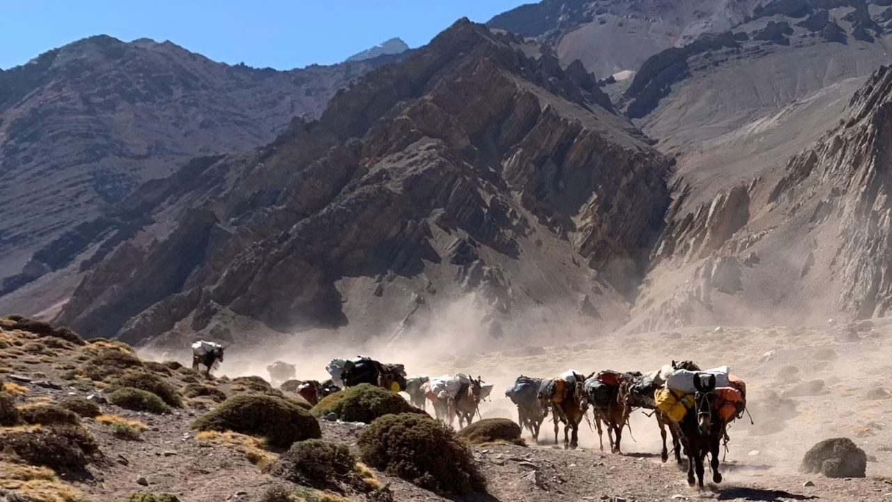 Mules carry the Zebra`s kits down Mount Aconcagua